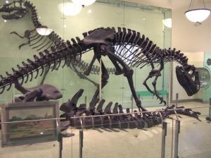AMNH Allosaurus skeleton 1