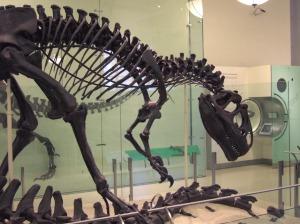 AMNH Allosaurus skeleton 2
