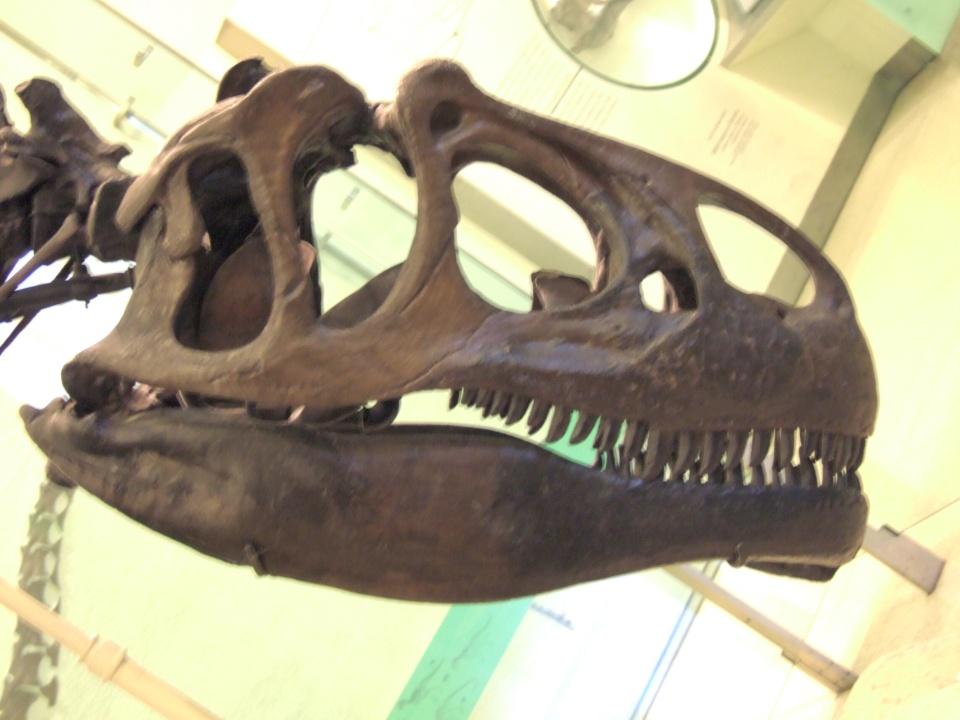 AMNH Allosaurus skeleton 3