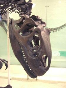 AMNH Allosaurus skeleton 4