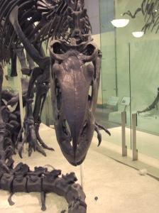 AMNH Allosaurus skeleton 5