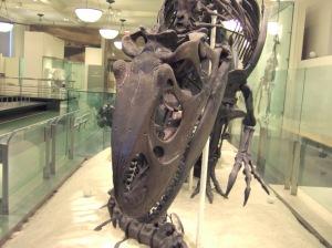 AMNH Allosaurus skeleton 6