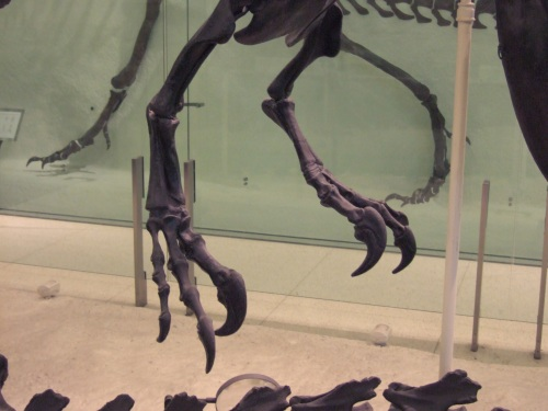 AMNH Allosaurus skeleton 7