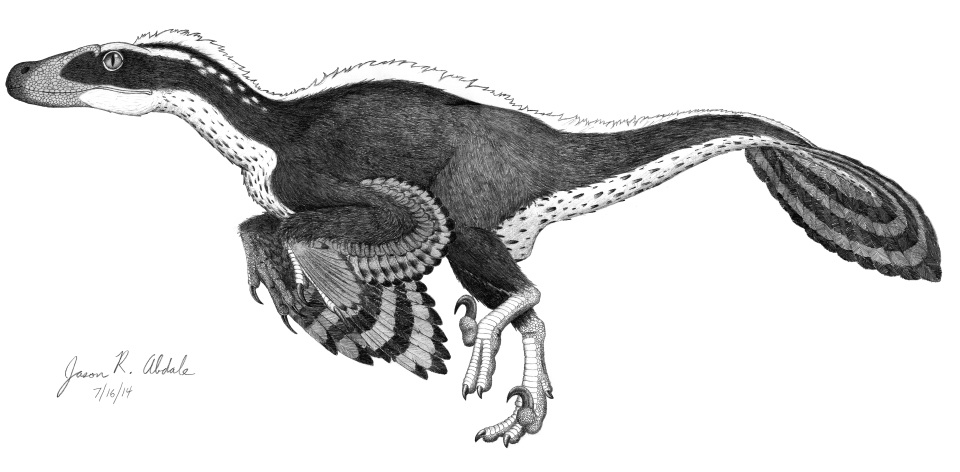 Acheroraptor revised